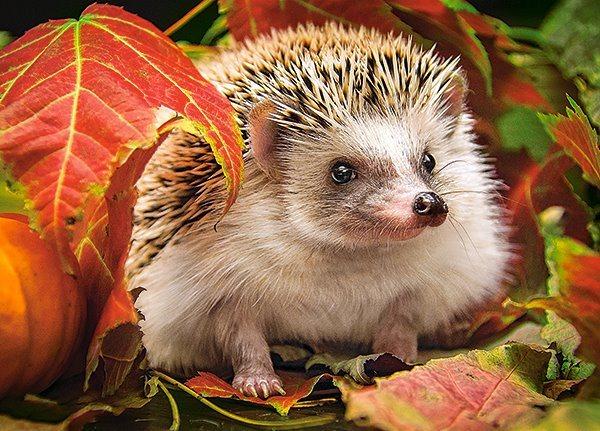 CASTORLAND Puzzle Ježek v podzimním listí 180 dílků
