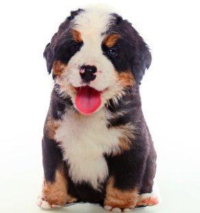 Tvarovaný polštářek Bernský salašnický pes